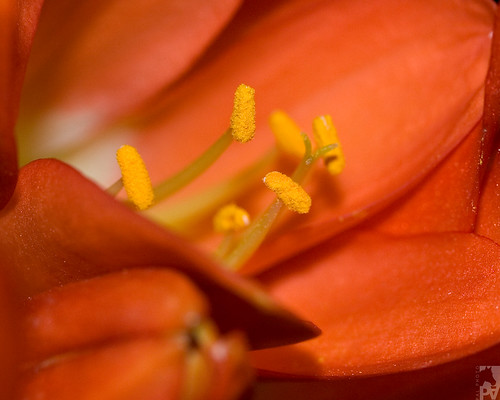 Clivia spp - Closer look