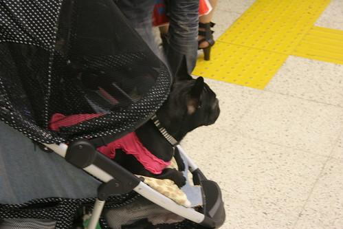 Perro en silleta I
