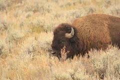 Buffalo (Jay Perry) Tags: travel nature buffalo hiking wildlife wyoming grandtetons nationalparks jacksonhole grandtetonnationalpark