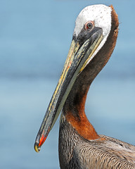 I Am Beautiful... (bmse) Tags: brown canon chica pelican american bolsa salah 50d bmse baazizi