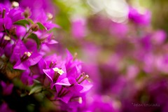 bokehvillea (helen sotiriadis) Tags: white flower macro green closeup canon published dof purple bokeh fuchsia depthoffield explore bouganvillea canonef50mmf14usm canoneos40d dslrmag