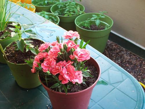 Small Carnation Plant
