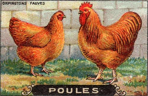 poules 16