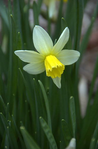 Narcissus, cyclamineus tribe