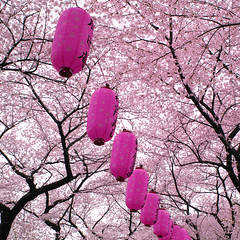 full bloom (ajpscs) Tags: pink japan wow japanese tokyo nikon blossom nakano  cherryblossom  sakura nippon  lantern d100 sakuramatsuri chochin     fullbloom nationalflower araiyakushi mankai ajpscs