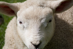 lamb (ksvrbrg) Tags: sheep lamb lam schaap blueribbonwinner mywinners diamondclassphotographer flickrdiamond