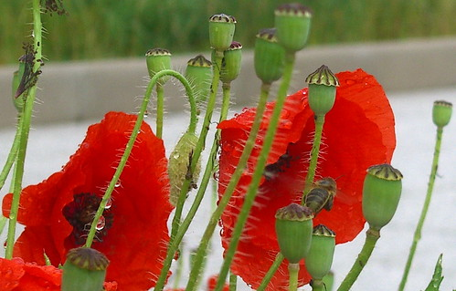 Wet Poppies