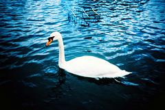 (Yellow Bear) Tags: ballet lake water swan xpro pond crossprocessing zenit beautifulbird