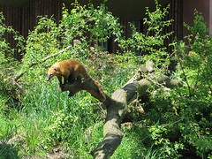 Coati's (marc_be) Tags: bear animals zoo europe belgium belgie bears exhibit antwerp dieren antwerpen flanders coati dierentuin vlaanderen enclousure neusbeer brilbeer specatcled