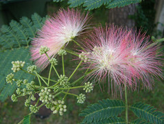 It's hot -- and it's Mimosa time (Jer*ry) Tags: flower tree flowering mimosa silktree albizia albiziajulibrissin