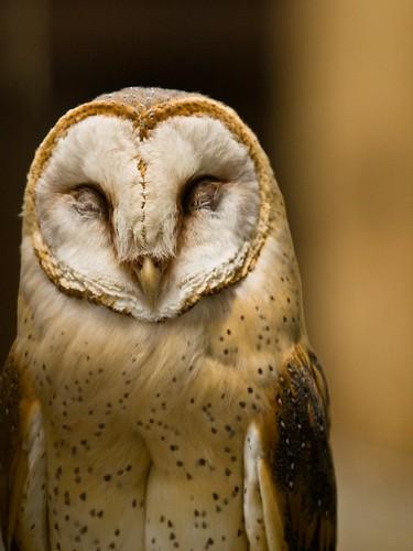 フリー写真素材, 動物, 鳥類, メンフクロウ科, フクロウ, メンフクロウ, 笑顔・スマイル,