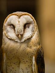 [フリー画像] 動物, 鳥類, メンフクロウ科, フクロウ, メンフクロウ, 笑顔・スマイル, 200807142100