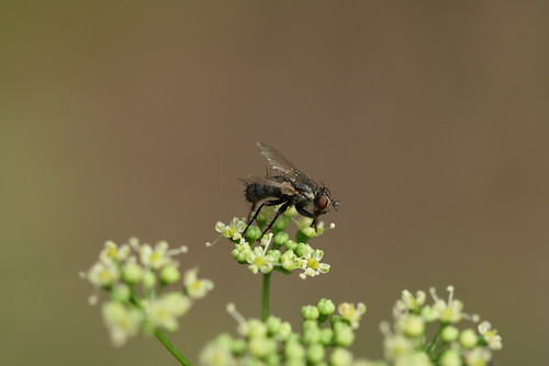 parsley fly 1