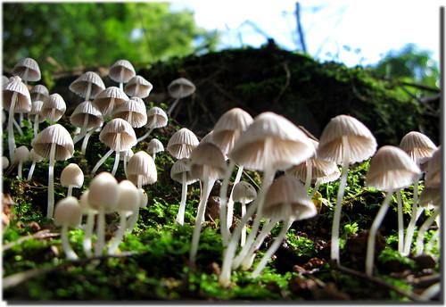 fruiting fungi (Coprinellus disseminatus)