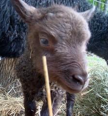 New ram lamb