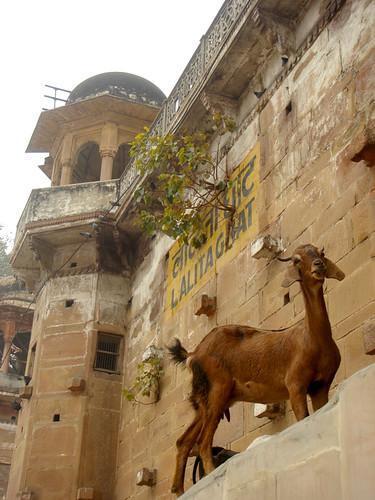Goat / Ghat