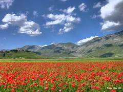 Castelluccio in red (Freddy Adams) Tags: natura poppies papaveri castelluccio fioritura castellucciodinorcia paololivornosfriends