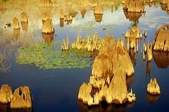 Swamp Sentinels (gatorgalpics) Tags: morninglight explore facingwest supershot deadlakes saveearth anawesomeshot goldstaraward multimegashot absolutelystunningscapes deadlakesstaterecreationarea stateroad71