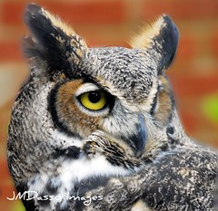 Owl (JMDasso) Tags: wild bird birds night wings eyes nocturnal florida wildlife jose beak feathers raptor owl prey predator plumage maitland supershot dasso abigfave avianexcellence josedasso