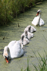 Family trip (Bert#) Tags: green bird nature water netherlands animal swan familly holysloot naturesfinest mywinners