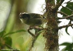 Black-cheeked Warbler (Michael Woodruff) Tags: travel bird birds costarica flock birding jungle cloudforest warbler canon30d basileuterus blackcheeked blackcheekedwarbler basileuterusmelanogenys melanogenys