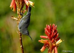 The grass is always greener on the other side... (Martin_Heigan) Tags: camera winter bird nature digital southafrica succulent aloe nikon dof martin bokeh photograph d200 dslr sunbird behaviour suidafrika nikonstunninggallery suikerbekkie heigan 70300mmf4556gvr aalwyn wsnbg mhsetbirds mhsetaloes mhsetbokeh mhsetflowers 5july2008