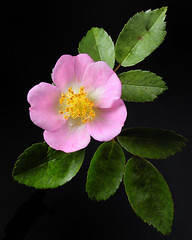Wild Poetry (Britta's photo world) Tags: pink black flower rose closeup foliage single 60mm blush britta d3 60mmf28dmicro niermeyer wildpoetry moll0108
