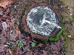 Calistoga Pioneers Cemetary (Pyratqwn) Tags: california tree graveyard canon us moss oak cemetary tombstone calistoga powershot stump gravestone lichen pioneers pioneerscemetary pyratqwn