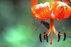 Lily and Butterfly against Teal Background (rosewoodoil) Tags: ireland orange color colour butterfly colours lily bokeh teal deluxe 300views 300 irishblog turkscaplily naturesfinest dublingarden photographedublin bbgardensie httpmubicomnotebookposts1201