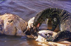 Queen Elizabeth National Park 45 (Limey2007) Tags: africa old nikon lakegeorge uganda 1970s eastafrica ftn mweya lakeedward photomic queenelizabethnationalpark mweyalodge pearlofafrica britishcolony kazingachannel