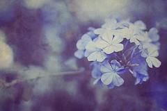 sadness is easier because it's surrender (miss.bailey) Tags: blue texture bokeh hmb 50mmf18 mondayblues sherocks smoothbokeh canonxti dangflickrcruncheseverything inspiredbyannalisagina