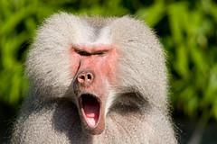 2008-09-25-12h48m59.IMG_7734l (A.J. Haverkamp) Tags: zoo thenetherlands amersfoort hamadryasbaboon papiohamadryas dierentuin dierenparkamersfoort mantelbaviaan canonef14xiiextender httpwwwdierenparkamersfoortnl canonef300mmf4lisusmlens