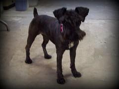 Pero...Qu raza es ????? (Schnauzer Mini Juli) Tags: dog black mini perro negra pelada schnauzerminiatura
