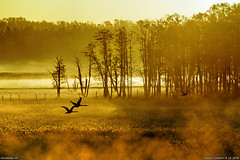 Morning flight (taivasalla) Tags: morning trees orange mist cold tree bird fall reed water birds yellow suomi finland reeds geotagged flying swan helsinki vanhankaupunginlahti autum calm steam swans pasture naturereserve viikki puu vapour vapor vesi syksy muteswan muteswans reedbed conservationarea lintu usva puita joutsen lintuja aamu laidun lentv laidunmaa hyry nikond200 kylm pasturage pastureland tyyni terrascania kyhmyjoutsen luonnonsuojelualue syysaamu ruovikko pornaistenniemi viikkivanhankaupunginlahti joutsenia ruoikko viikinranta kosteikko kyhmyjoutsenia lentvi ruohokarinniemi