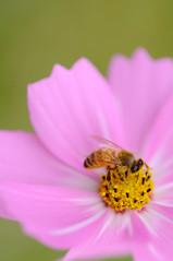 buzz-buzz (miwa**) Tags: pink flower macro nature nikon bee nikkor 2008 cosmos miwa d90 105mmf28dmicro nikond90