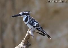 Pied Kingfisher (Ceryle rudis) (macronyx) Tags: africa bird nature birds wildlife birding aves kingfisher uganda piedkingfisher naturesfinest cerylerudis ceryle gråfiskare