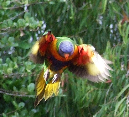 flying rainbow lorikeet 01