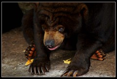 Bear Relax (sensitro9) Tags: asia wildlife southeast wildlifesoutheastasia