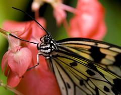 Tree Nymph Butterfly on Pink Flower (Theresa Elvin) Tags: macro butterfly sheffield tropical tropicalbutterflyhouse treenymphbutterfly northanston sheffieldbutterflycentre