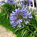 Photo: Agapanthus africanus