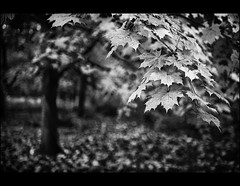 Autumn in Monochrome! (mcazadi) Tags: autumn trees bw white black fall leaves bwdreams blackwhitephotos diamondclassphotographer blackwhiteaward theunforgettablepictures