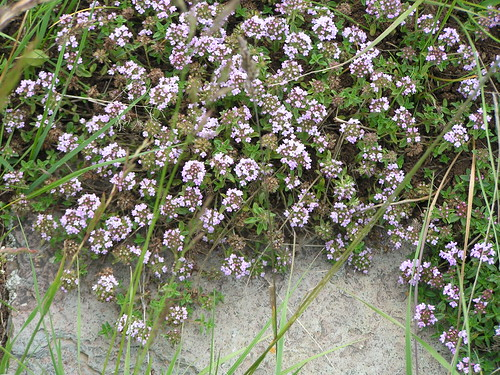 Thymus collinus (Thyme)