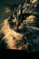 Cats (Mohammed Nairooz) Tags: portrait hairy pet sunlight cat dof natural bokeh 2008 nairooz