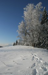 Le retour (Larch) Tags: trees snow france tree frost trace arbres neige 74 arbre footprint givre retour hautesavoie comingback agy sailsevenseas