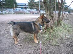 IMG_2255 (Niina J.) Tags: eläimet koirat osmo