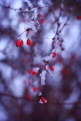 (ginnerobot) Tags: blue winter red snow ice frozen december berries bokeh branches flickrlunchbreak