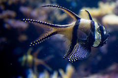 national aquarium (truello) Tags: fish harbor cardinal maryland baltimore inner nationalaquarium banggai kauderni pterapogon bangaicardinal truello