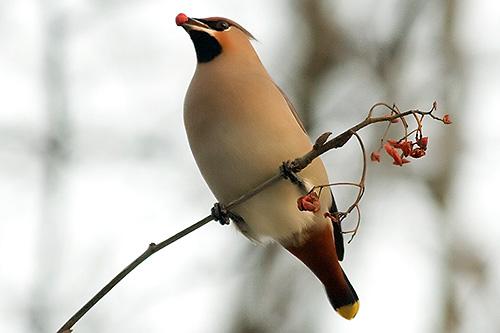 Waxwing eats berries
