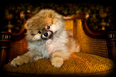 Ziggy Corleone (Lidia Camacho) Tags: portrait dog cute puppy pom chair fuzzy bonito perro pomeranian godfather perrito peludo ziggystardust copyrightedallrightsreserved