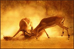Stag fight (hvhe1) Tags: africa light sunset male nature animal southafrica fight bravo stag searchthebest sweet wildlife safari impala antilope timbavati naturesfinest africanwildlife firstquality tandatula outstandingshots specanimal animalkingdomelite hvhe1 hennievanheerden specanimalphotooftheday specanimalphotoofthemonth bratanesque wildearth bestofanimals specanimalphotooftheyear vosplusbellesphotos visionquality